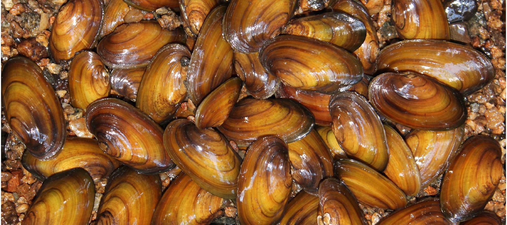 Permalink zu:Flussperlmuschel